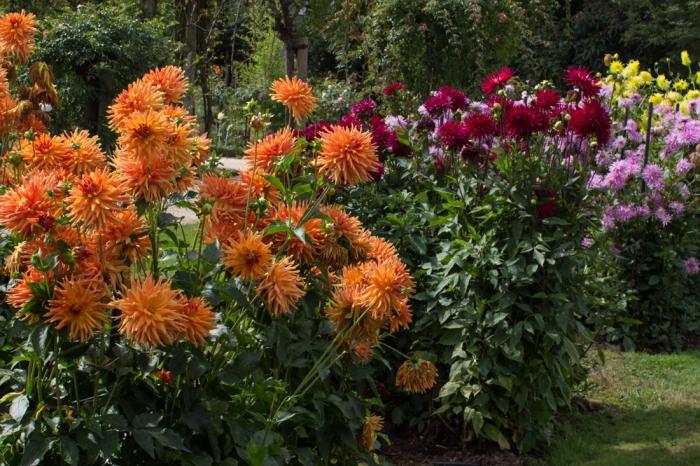 Dahlias in The Thabor Gardens, Rennes