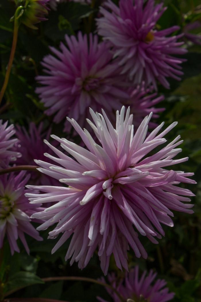 Dahlia 'Violeta'