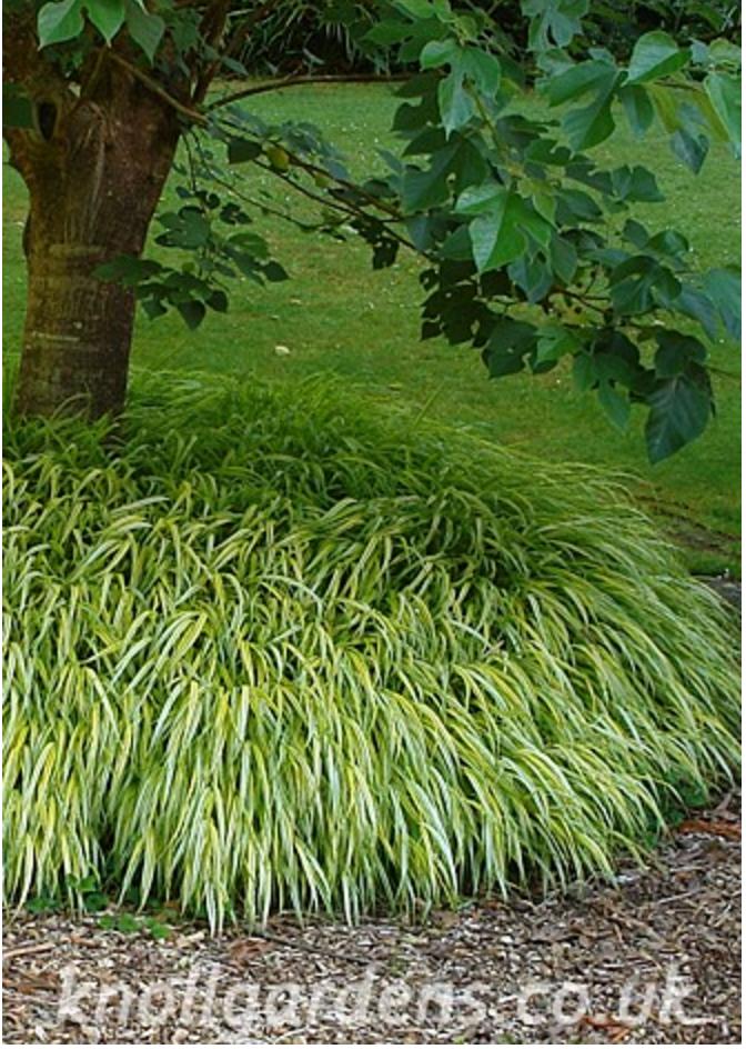 hakonechloa-aurea (http://www.knollgardens.co.uk/product/hakonechloa-macra-aureola-alboaurea/)