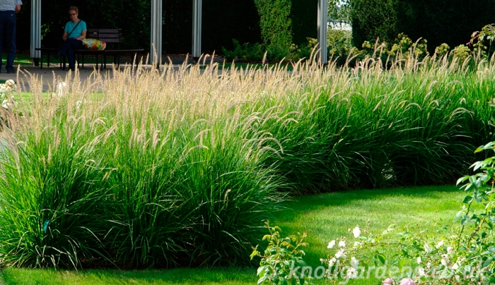 Pennisetum 'Fairy Tails' (http://www.knollgardens.co.uk/choose-the-right-plants-for-your-garden/)
