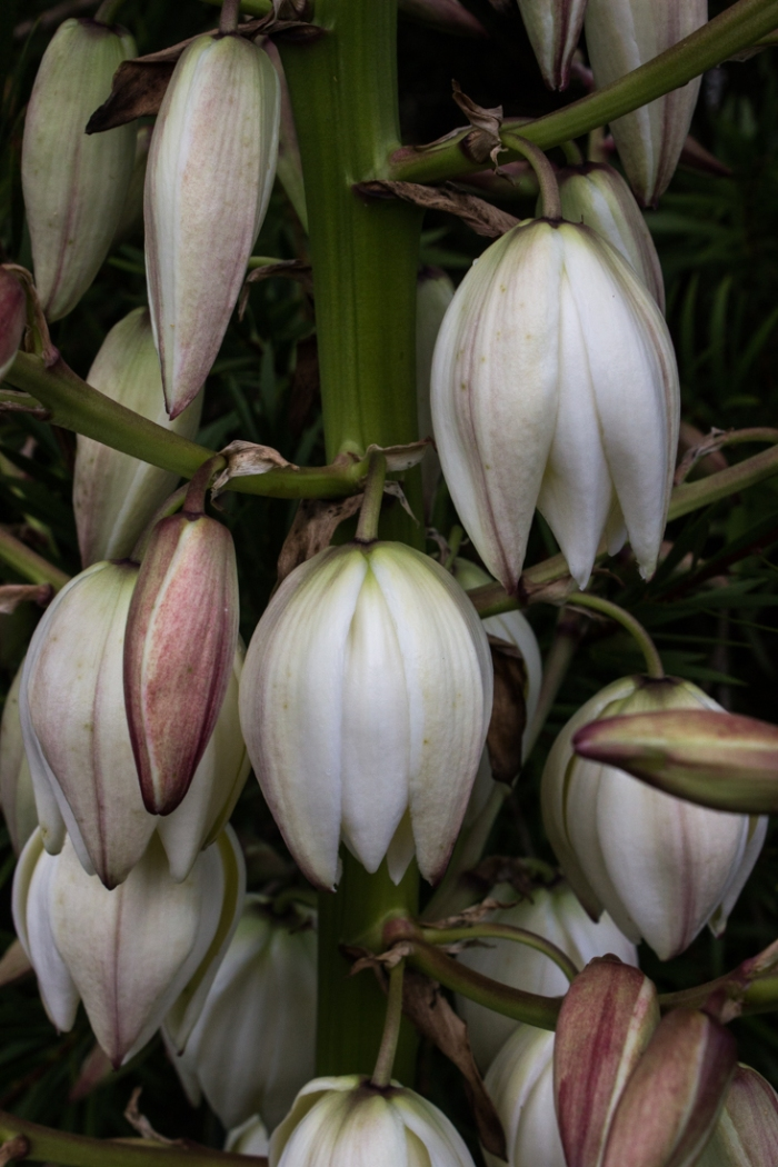 Flax flowers in the Botanic Gardens, Roscoff