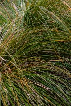 Carex Textacea