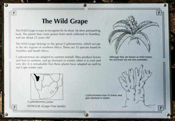 Wild grape, Karoo National Botanic Gardens, Worcester