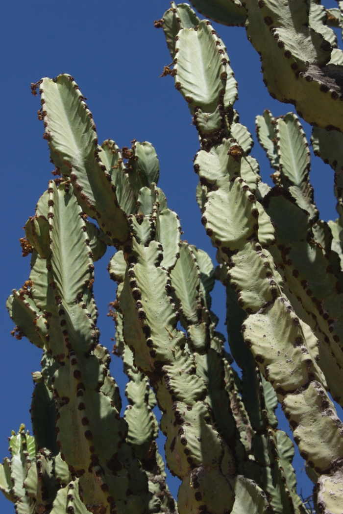 Euphorbias in the Karoo National Botanical Gardens, Worcester