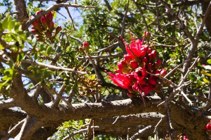 The Karoo Boer Bean Tree