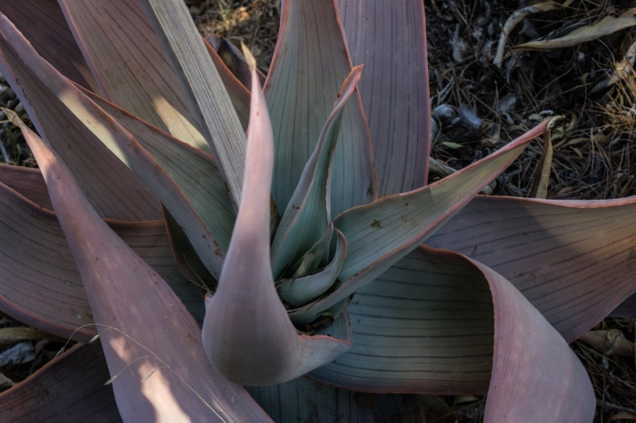 Aloes in Logan's garden