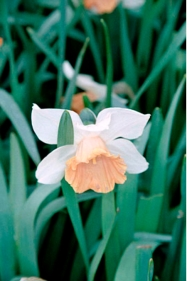Daffodil 'Chromacolor'