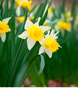 Narcissus 'Pseudonarcissus'