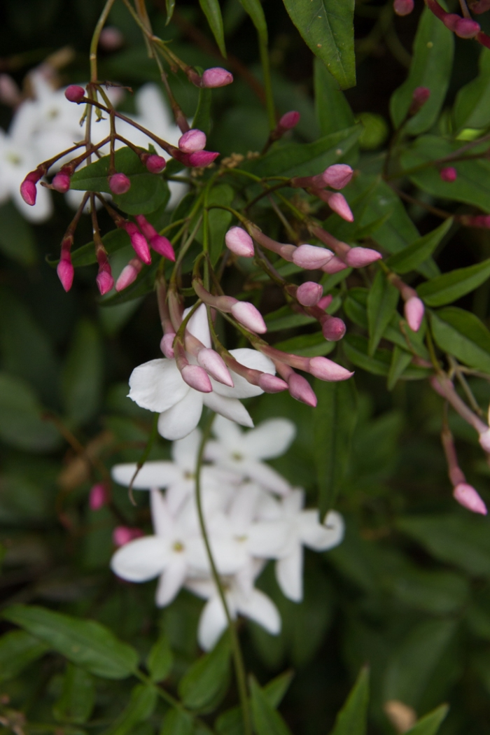 Jasmine in Cable Street Gardens