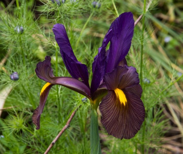 Iris in Cable Street Gardens