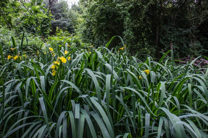 Irises in Stave Hill Ecology Park & Russia Docklands Park
