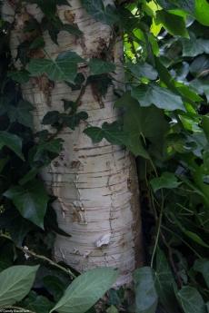 Birch tree in Phoenix Garden