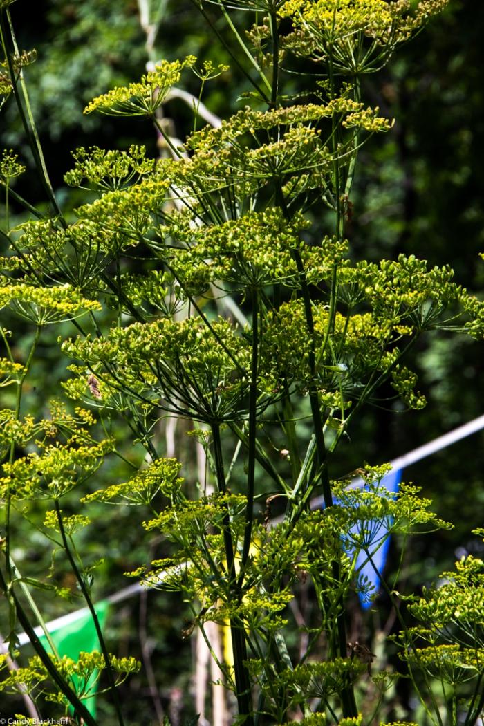 Flowering parsnip