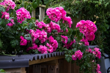 Roses in 2017