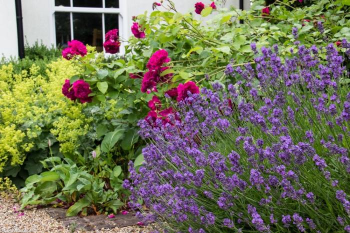 Alchemilla, William Shakespeare, Lavender