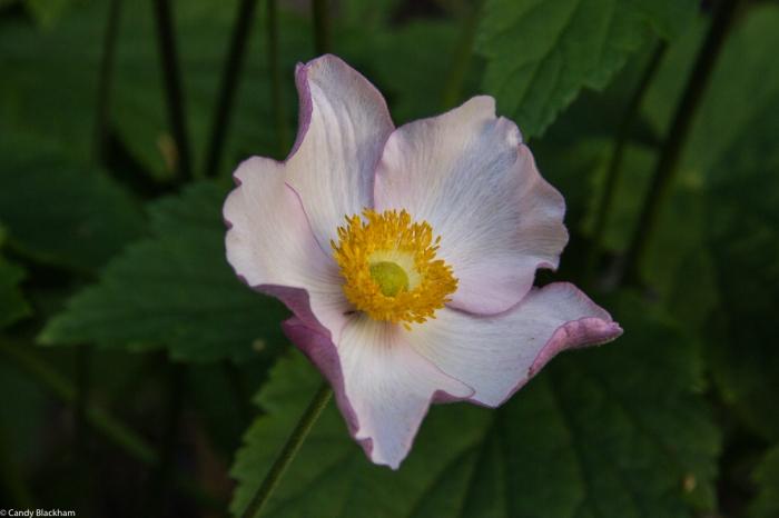 Japanese Anemone 'Robustissima'