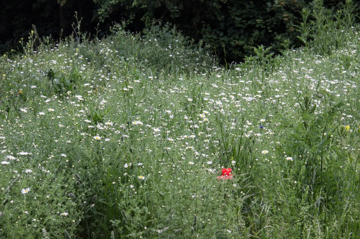 The wildflower meadow at Stave Hill