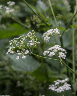 Cow parsley in the Park at Stave Hill