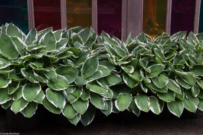Hostas at Dalston Eastern Curve