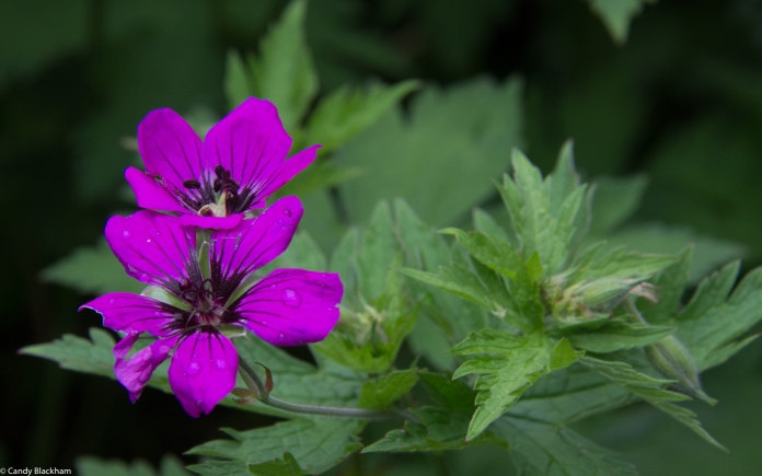 Geranium 'Dragon Heart', Fassett Square, Hackney