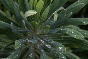 Euphorbia, Fassett Square, Hackney