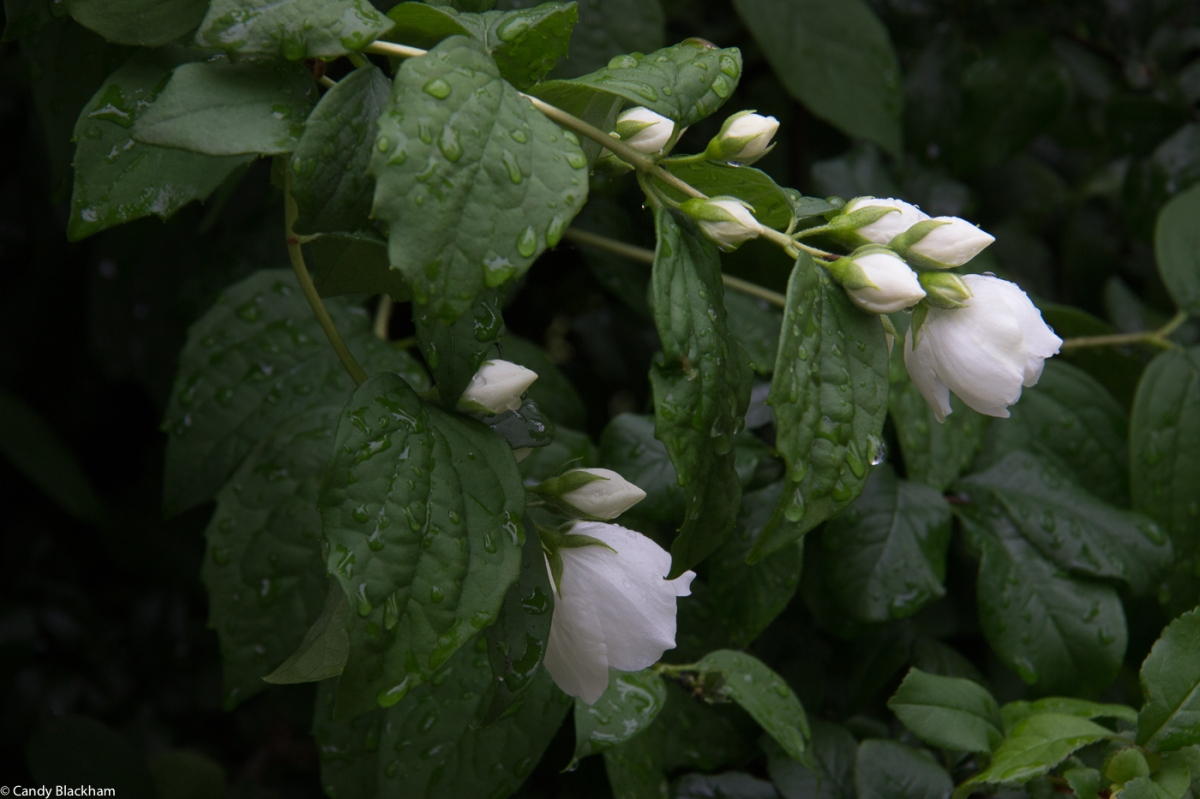 Philadelphus, Fassett Square, Hackney