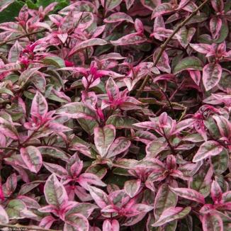 Variegated foliage, Fassett Square, Hackney