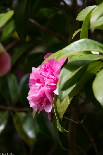 Camellias at The Chateau of Trevarez