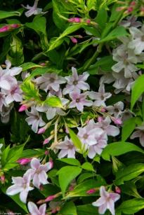 PInk, scented jasmine