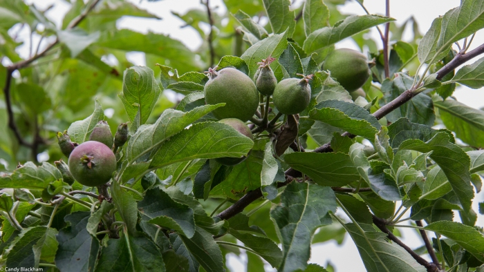 Apple trees grown in containers
