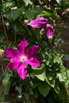 Clematis at Rainham Hall