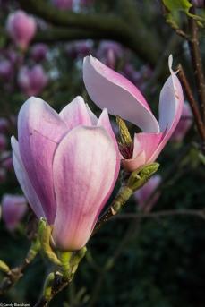 Magnolias in Greenwich Park