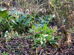 Bergenias and primroses