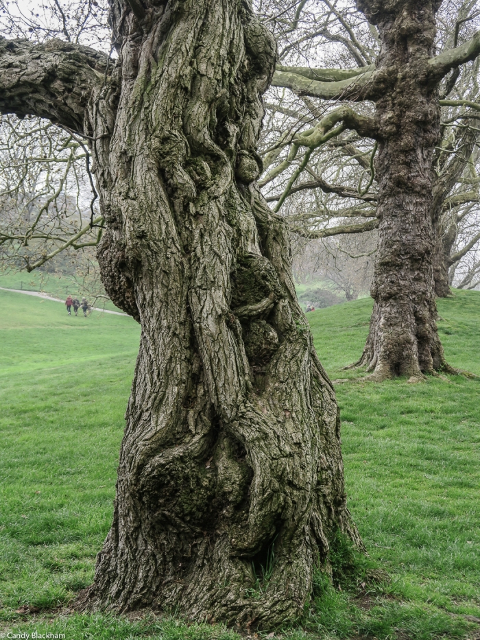 Trees in Greenwich Park