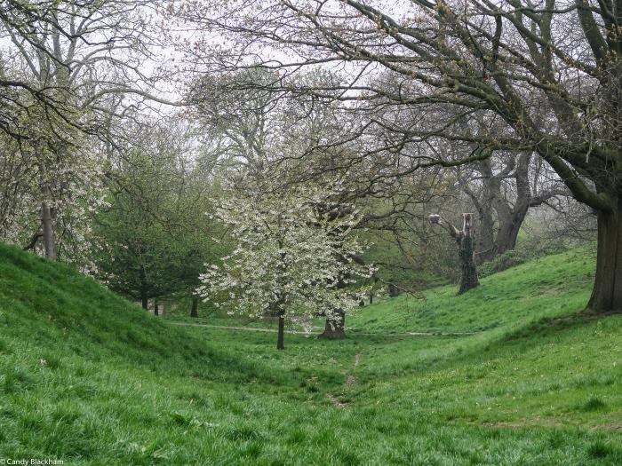 Flowering ornamental cherry tree