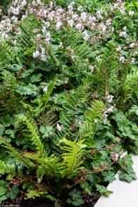 Ferns & Geranium Macrorrhizum
