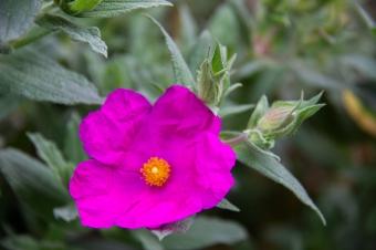 Cistus Pulverulentus