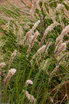 A species of Pennisetum?