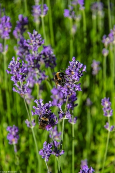 Lots of bees in the lavender!
