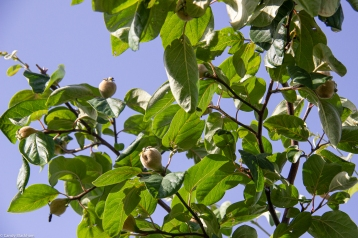 The quince tree