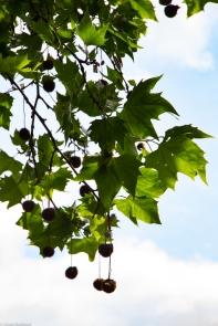 Plane tree seed pods