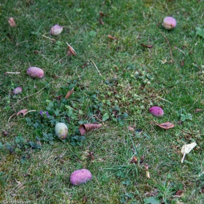 Victoria Plums on the ground