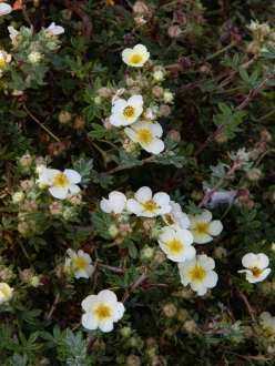 Potentilla 'Evening Primrose'