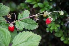 Ornamental strawberry