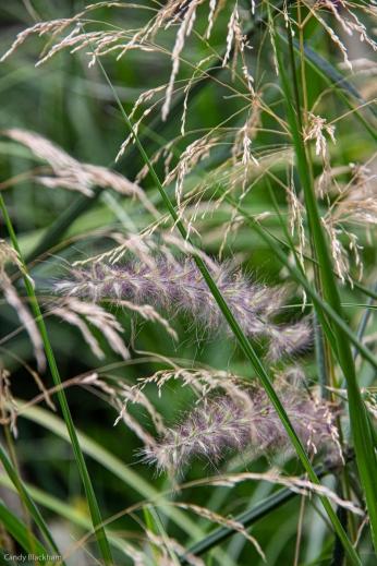 Deschampsia & Pennisetum