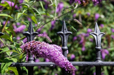 Buddleias along the river path